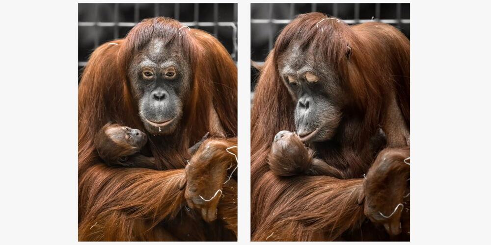 zoo_orangutan.jpg