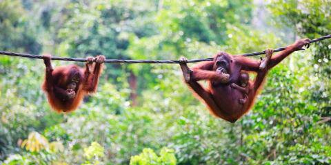 Malaysia-Borneo (Sabah & Sarawak)-Tiere-Orang Utans-62791.jpg