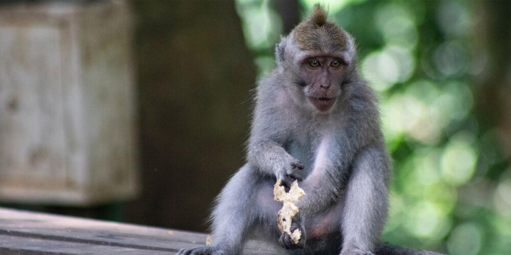Monkey_Indonesia.jpg