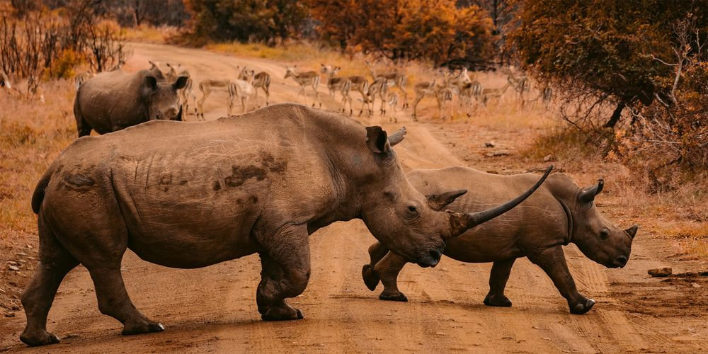 Nashorn_Afrika.jpg